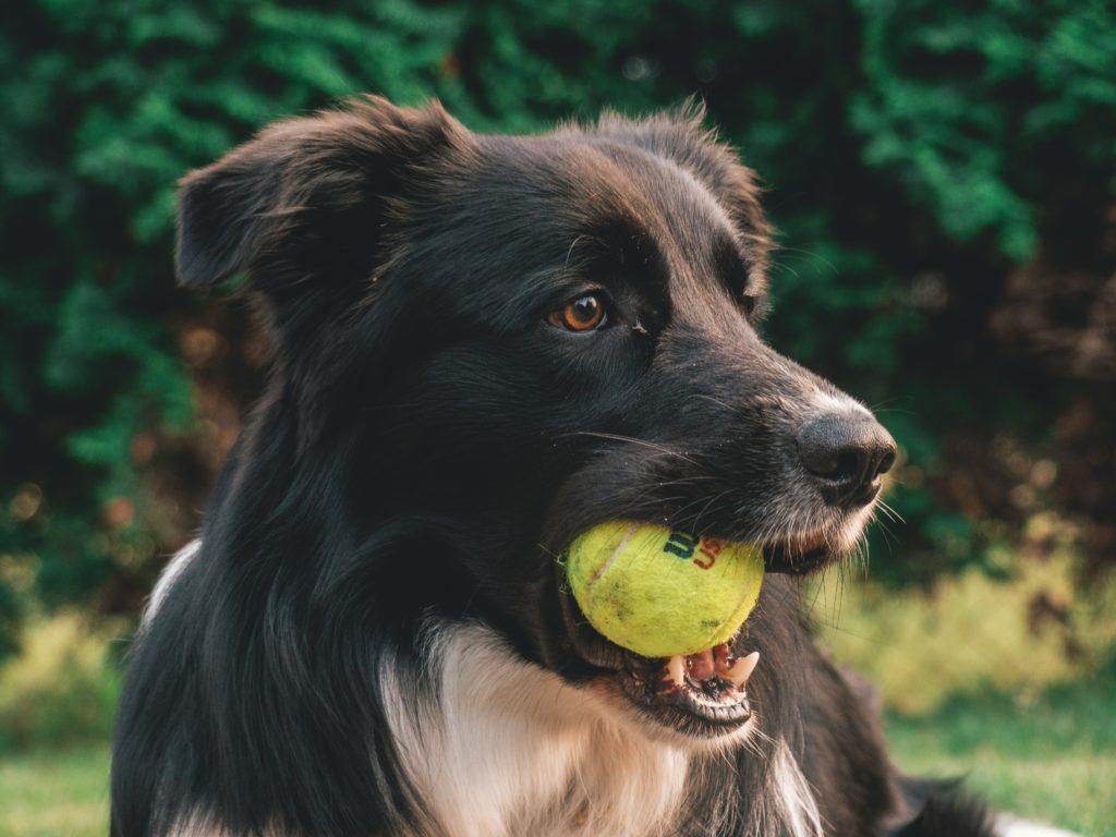 hond met bal in zijn bek