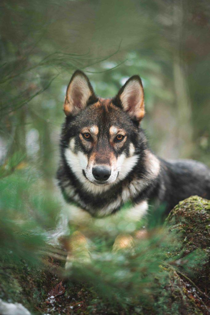 Op de foto zie je een wolf