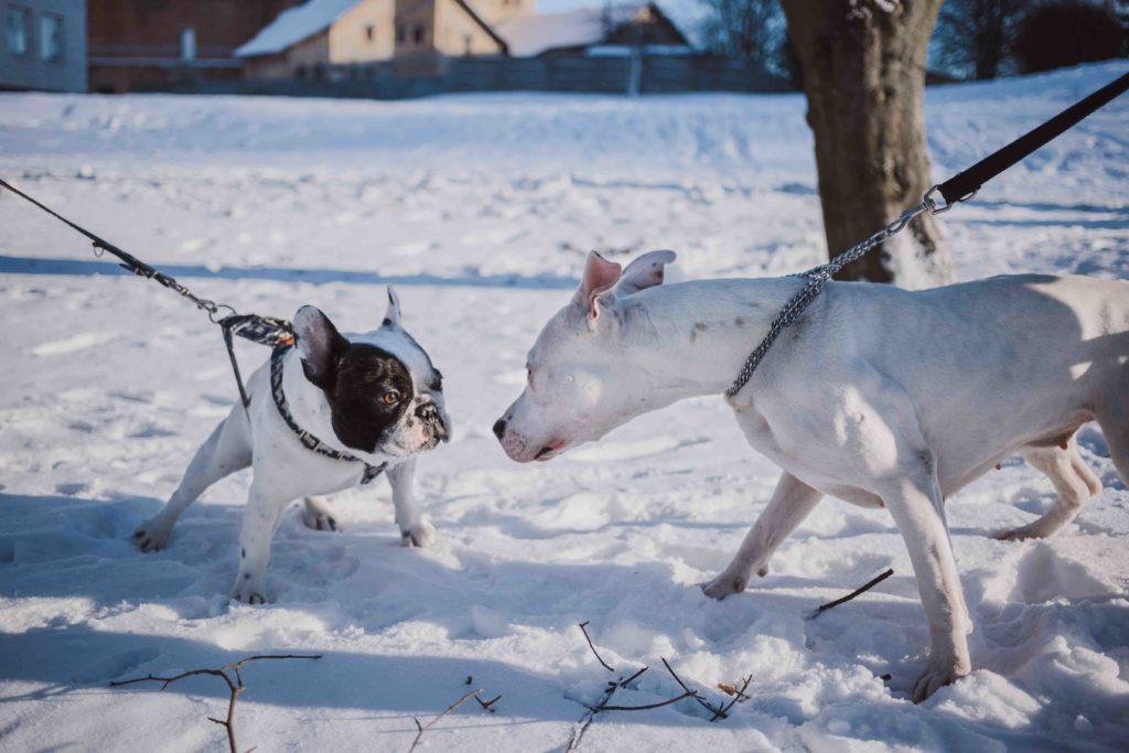 honden fixeren elkaar en maken contact aan een strakke riem