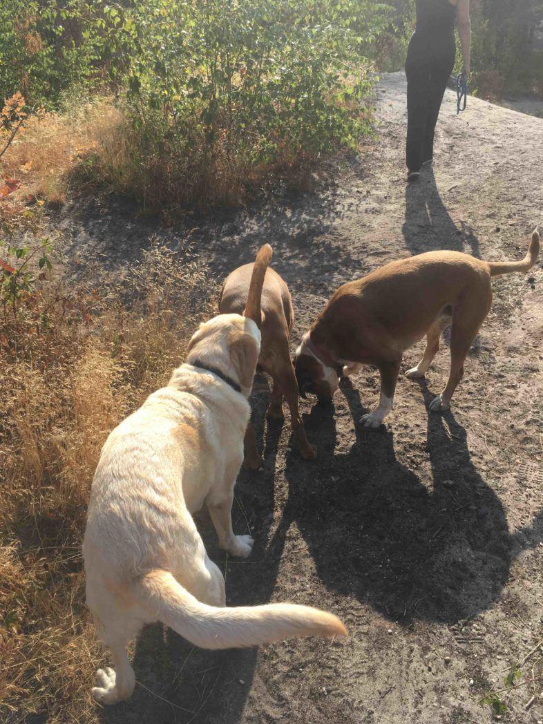 drie honden snuffelen, snuffelen helpt bij reactiviteit en stress