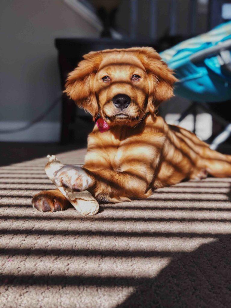 Hier zie je een hond op een botje kauwen