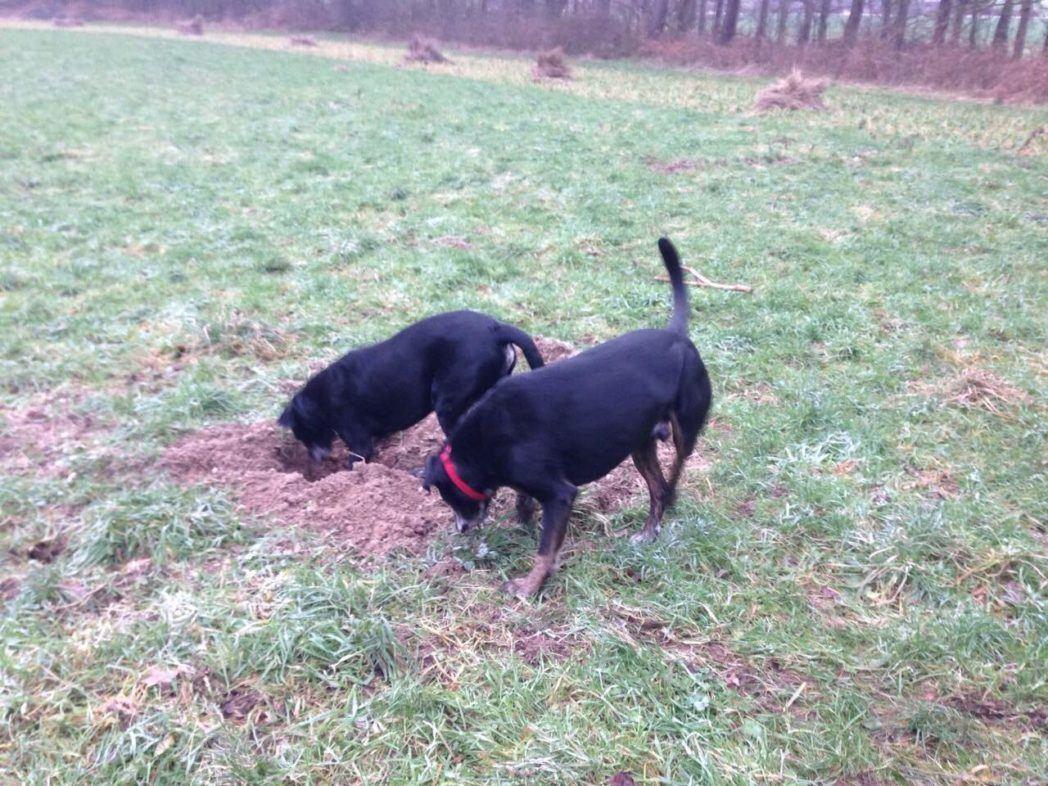 twee honden snuffelen en graven dit helpt tegen reactiviteit en stress