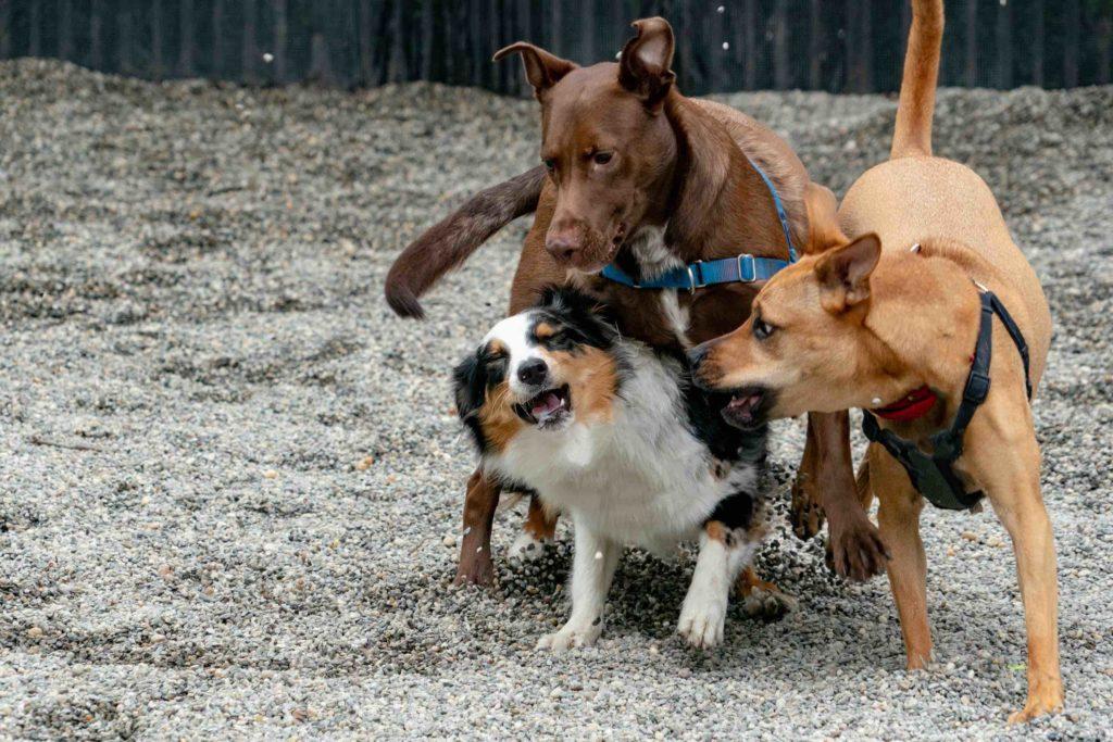 drie honden spelen erg ruw