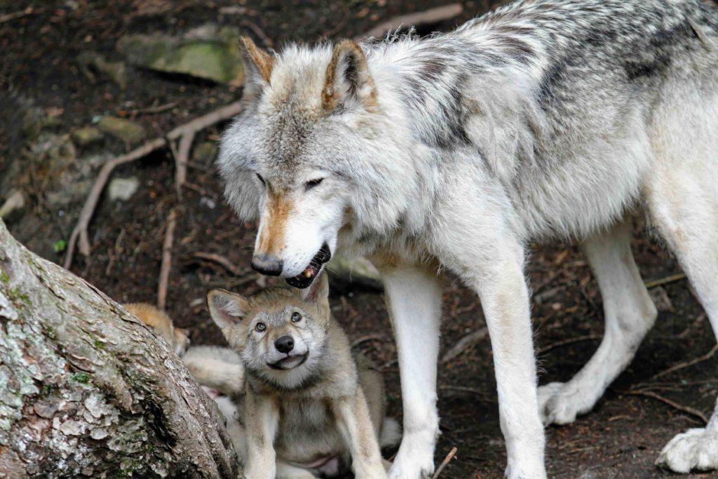 Op de foto zie je een moederwolf en pup