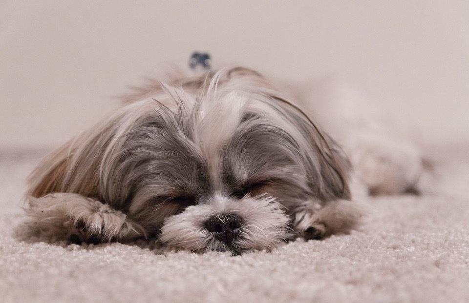 slapende hond, slapen helpt om stress te verlagen en daarmee reactiviteit te verminderen